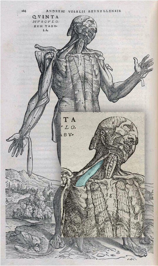 Anatomical Study, engraving by Andreas Vesalius (1514-64)