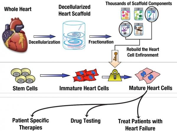 Heart disease harvard stem cell institute hsci rebuilding a damaged heart ccuart Images
