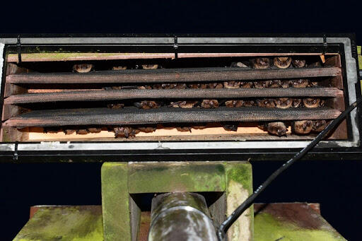 lots of little brown bats looking through open vent slats
