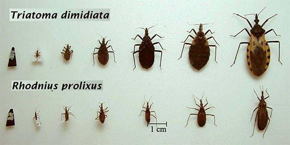 Chagas vector chart