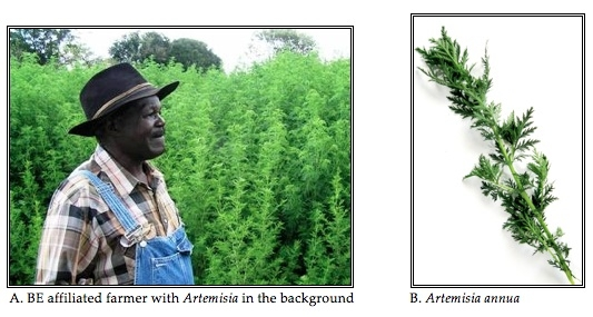 The Artemisia Plant and Cultivation