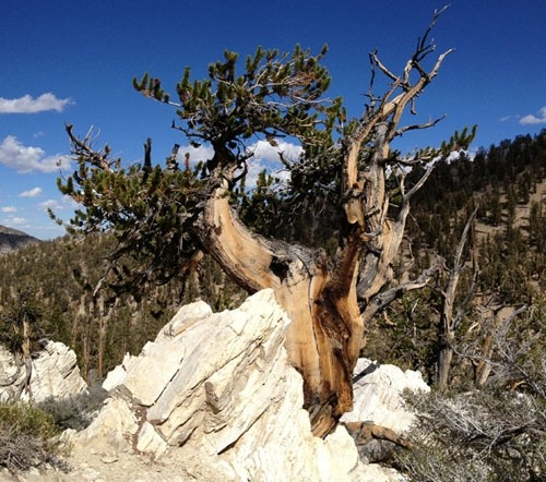 Great Basin Bristlecone Pine from the White Mountains, California