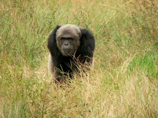 A chimpanzee at Tchimpounga Chimpanzee Sanctuary in the Republic of Congo heads into the forest.