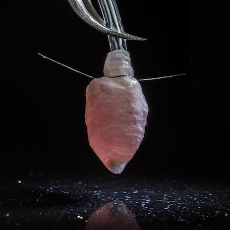 This three-dimensional model of a heart ventricle was engineered with a nanofiber scaffold seeded with heart cells. (Luke MacQueen and Michael Rosnach/Harvard University)