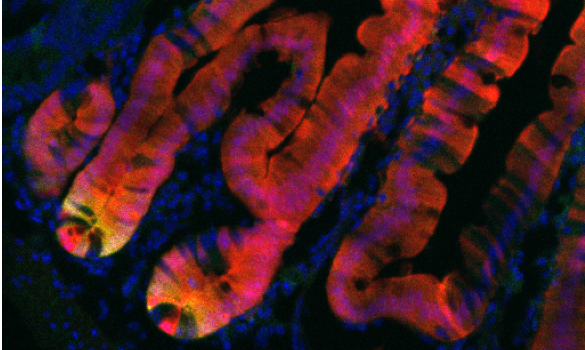 Microscopy image of intestinal stem cells.