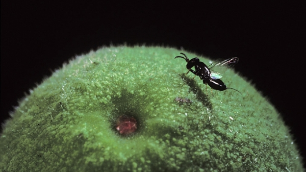 Pollinator fig wasp photo