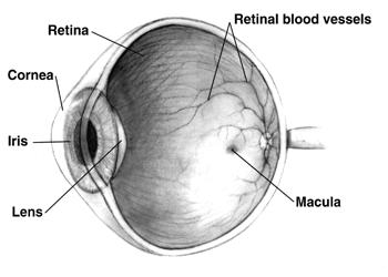 Eye Diseases Harvard Stem Cell Institute Hsci