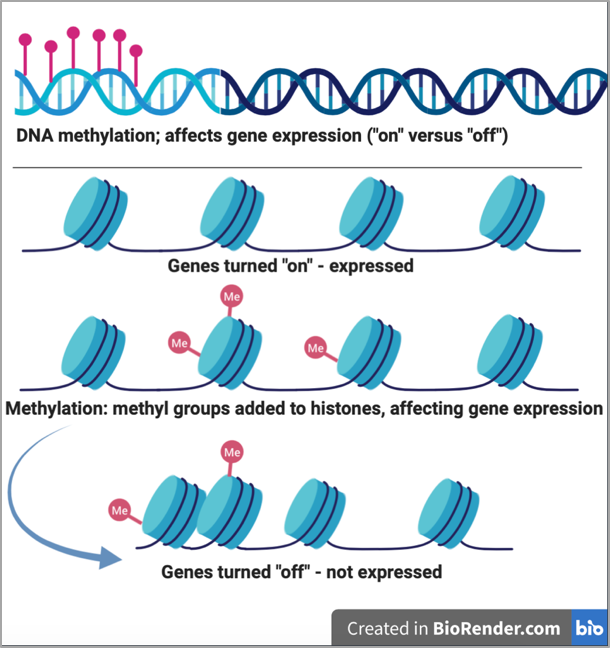 "Illustration of DNA methylation. Genes are turned ""off"" when methyl groups attach to the histones"