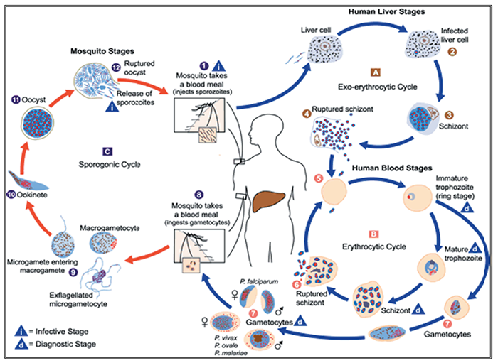 Plasmodium Falciparum life cycle