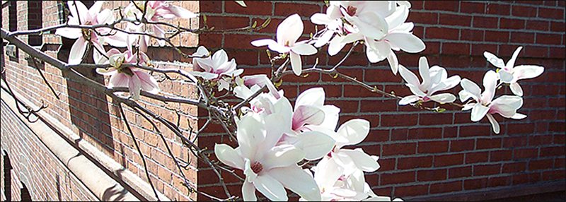 magnolia blossoms against the wall of Jefferson Lab