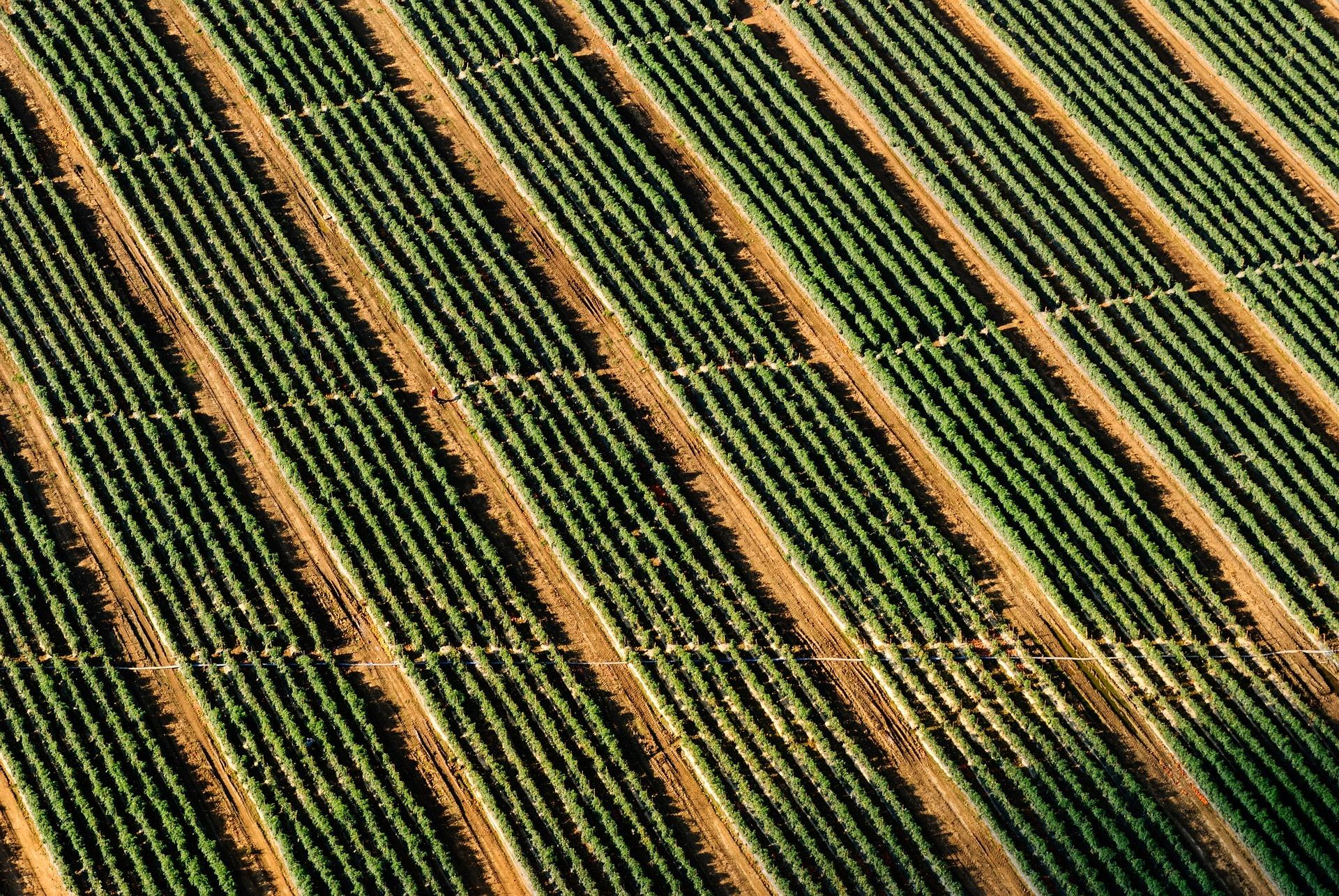 Image of identical farm rows in a field