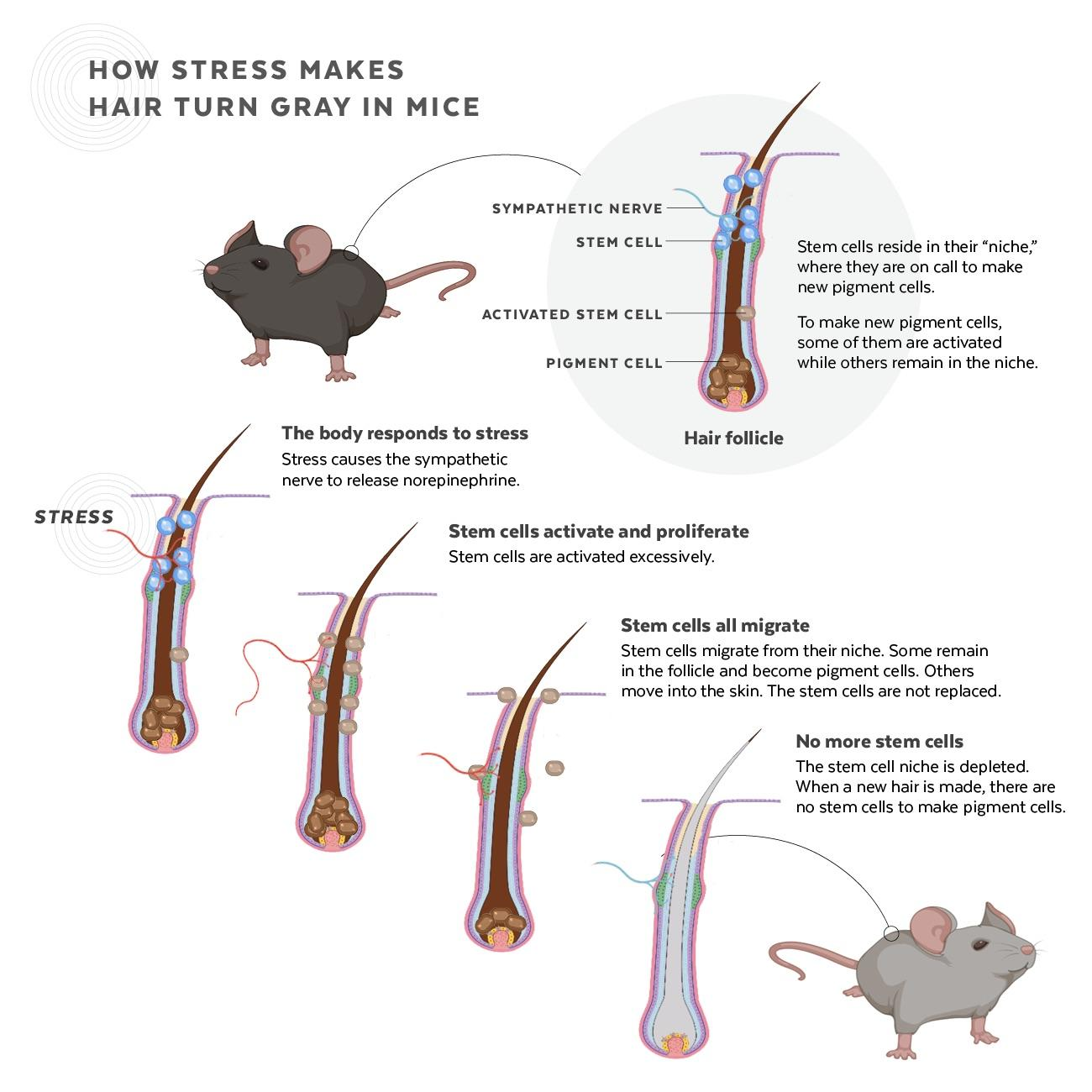 Infographic showing how stem cells are affected by stress.