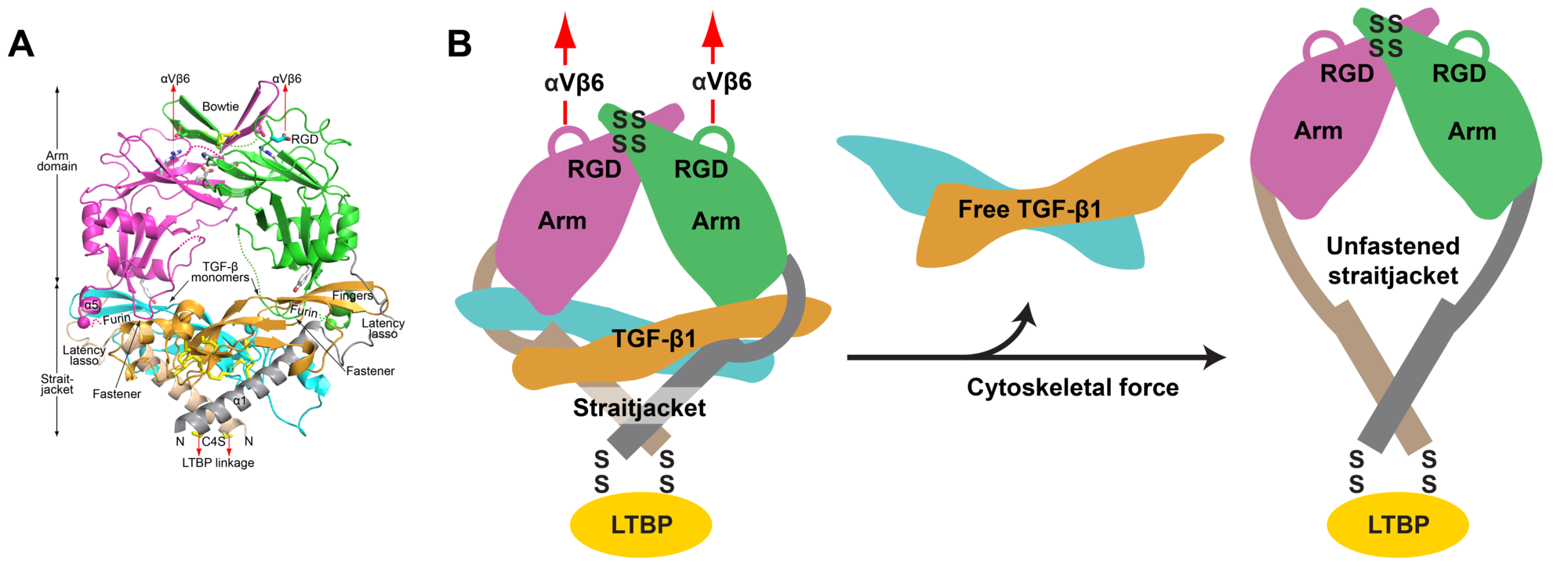 Structure and activation of pro-TGF-beta.