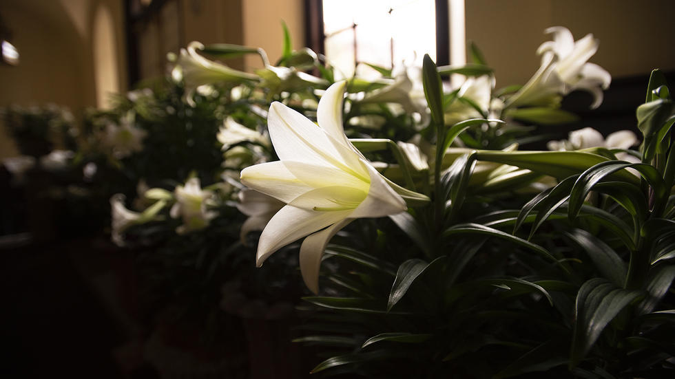 Good Friday Lillies