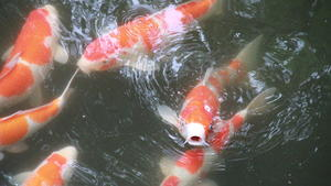 Summer in Japan_Koi fish_photo by Jalem Towler