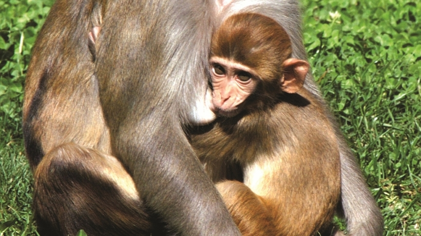 Rhesus Macaque Infant Breastfeeding