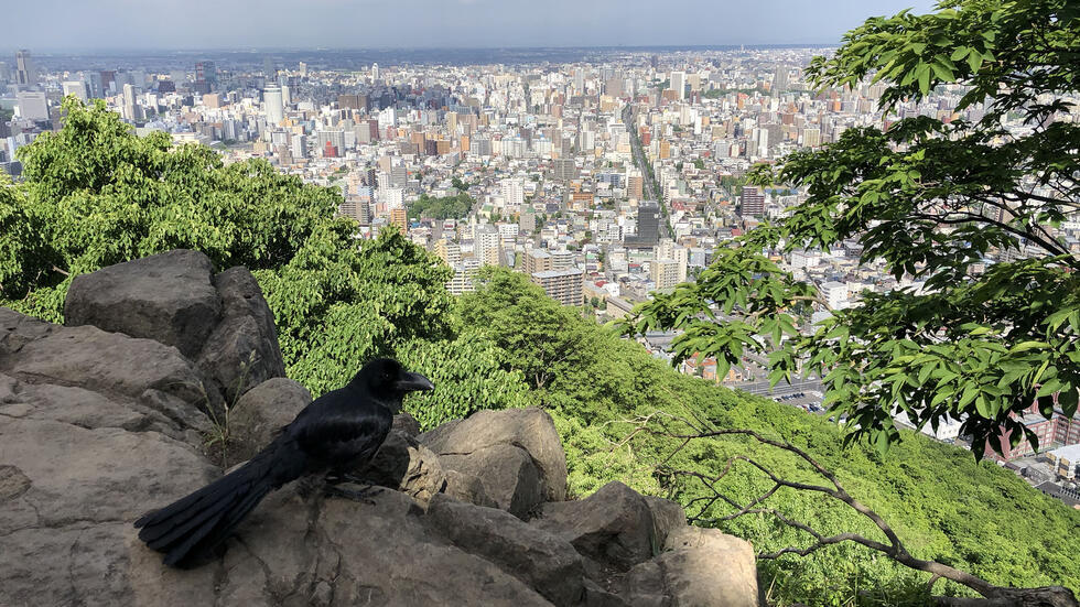 In the foreground a raven sits on a large rock overlooking a breathtaking view of the city of Sapporo in Hokkaido, Japan.
