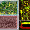 Wyss Institute develops technology to better study blood-brain barrier