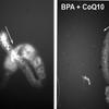 Antioxidant reverses most BPA-induced fertility damage in worms