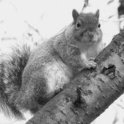 grey_squirrel.jpg